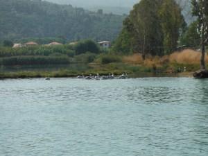 Pelicans, Levkas